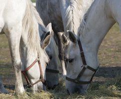 Oft unentdeckt – Magengeschwüre beim Pferd