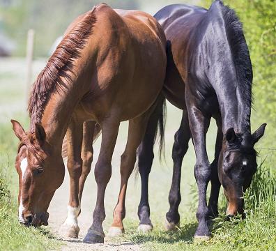Selenmangel – eine weit verbreitete Pferdekrankheit