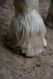 Ohne pferdegerechte Fütterung kein gesunder Huf