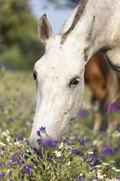 Zucker in der Pferdefütterung