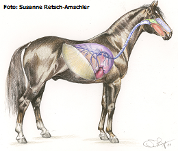 Pferd Atmung