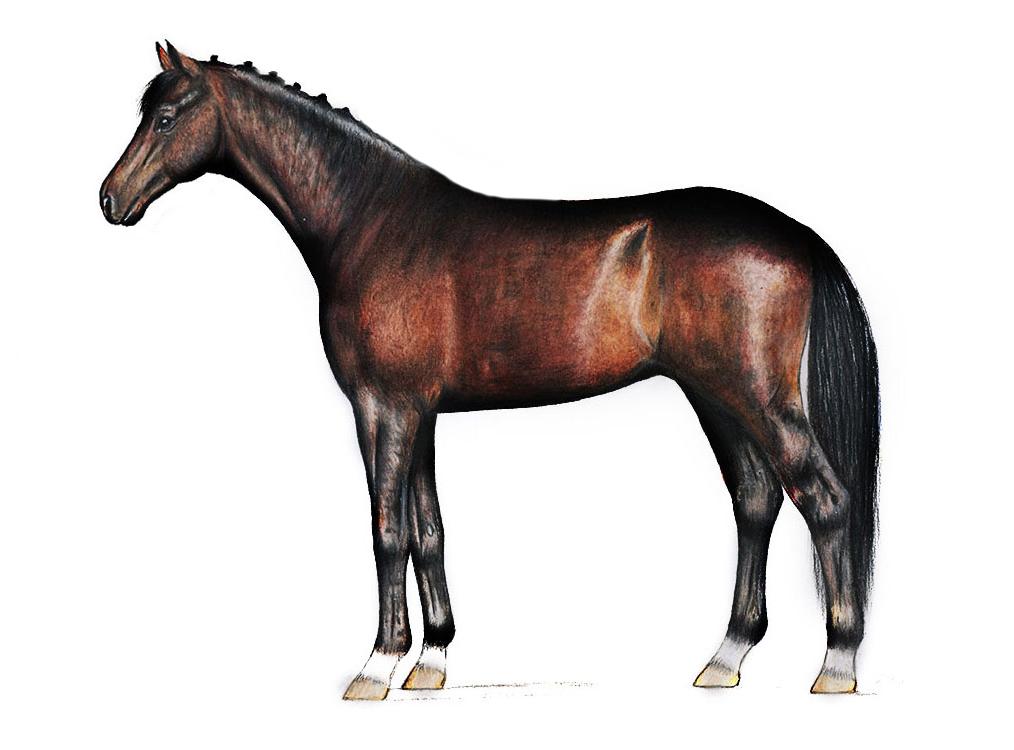Natural Horse 35 03-2021 Das Topline-Syndrom Probleme der Geometrieveränderung des Pferdes erkennen